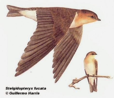 Tawny headed Swallow