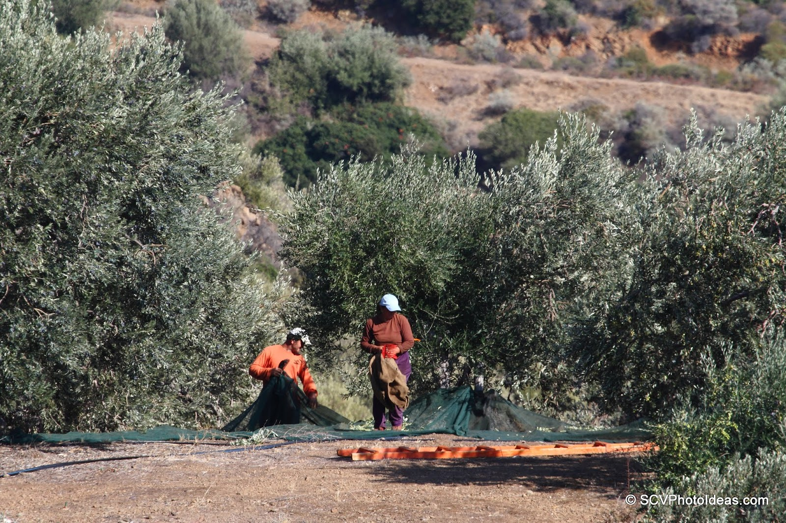 Olive picking far in the groves