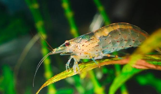 Udang Amano - 11 Ikan hias pemakan lumut aquarium