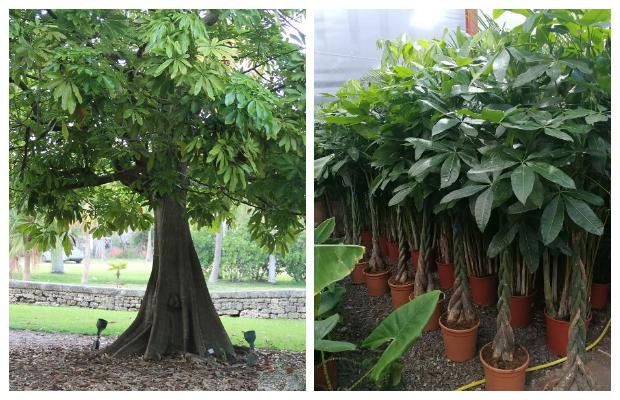 Παχίρα - Το δέντρο του χρήματος