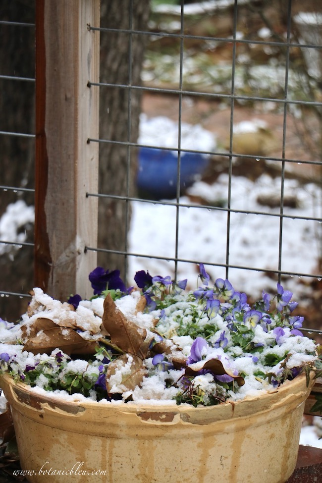 Clay pots on the deck hold Winter blooming pansies and violas