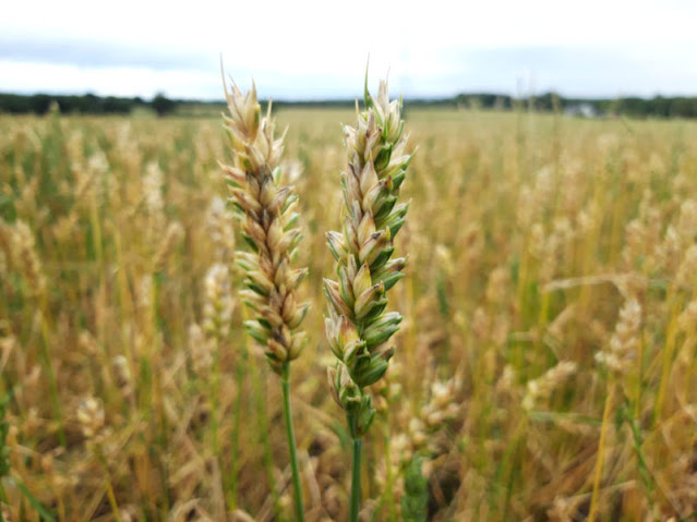 Close up of wheat ears which are both shades of green and gold, against a background of wheat