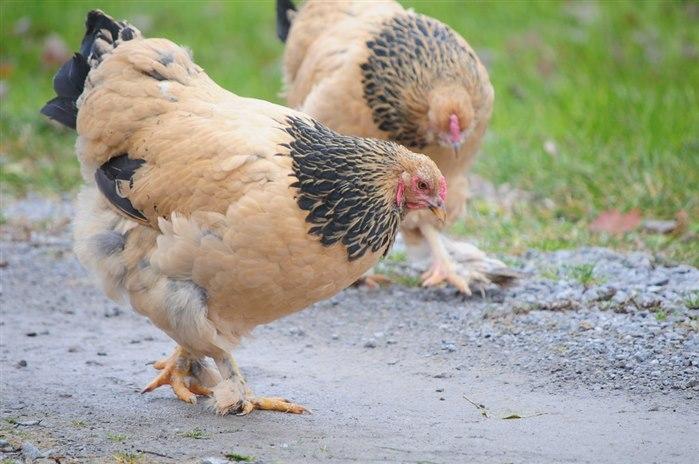 Brahma Tavuk Cinsleri / Buff Brahma