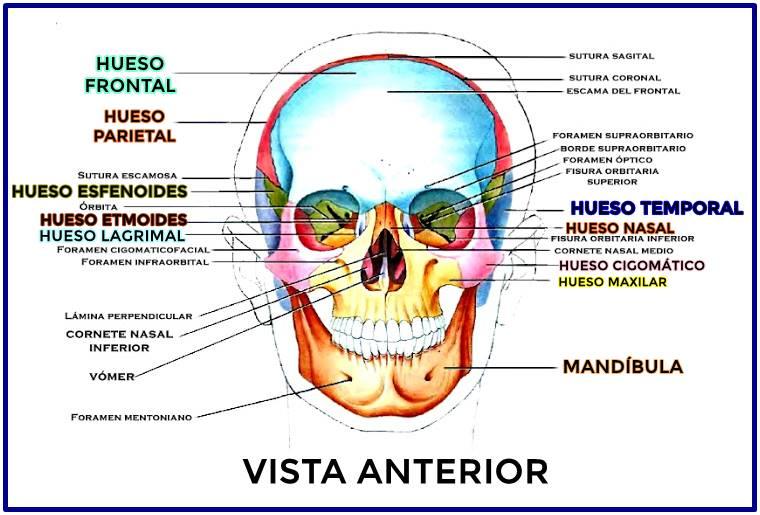 Huesos del cráneo: vista anterior