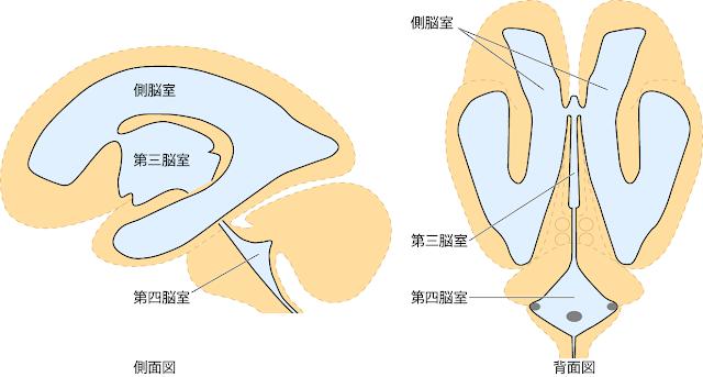 図2 脳室のイラスト 脳科学辞典からの出典  脳室と脳室の展開図