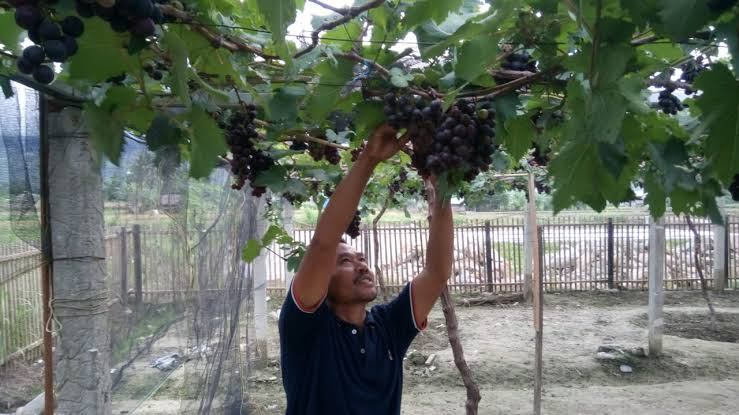 Cara Budidaya Anggur