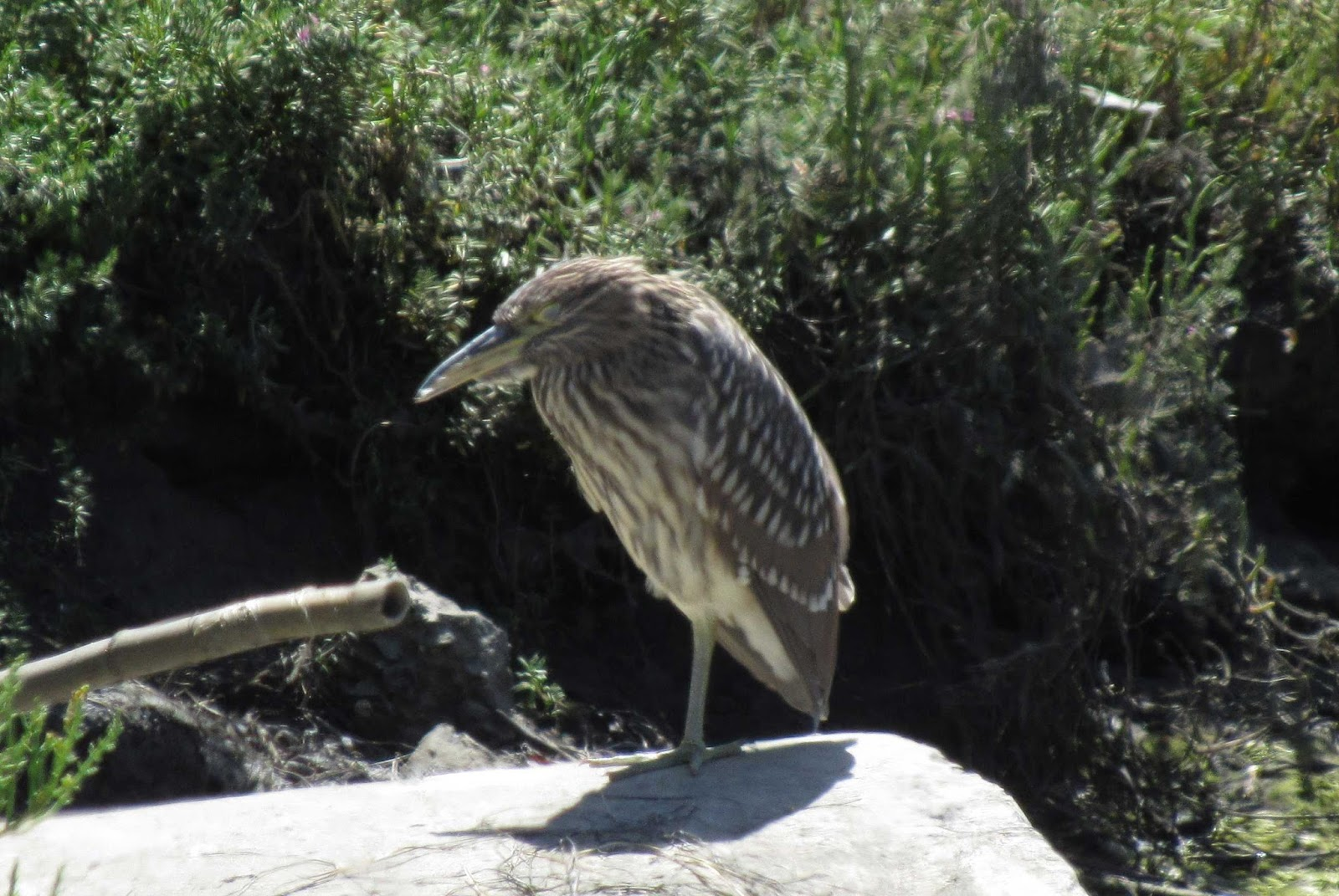 most of the birds are actually gone this time of year except for the year around residents like this black crown night heron shown to the left