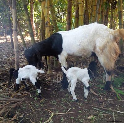 kambing hewan vivipar atau melahirkan - berbagaireviews.com
