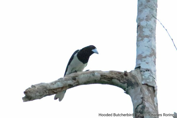 Hooded Butcherbird (Cracticus cassicus) in Waigeo island of Raja Ampat
