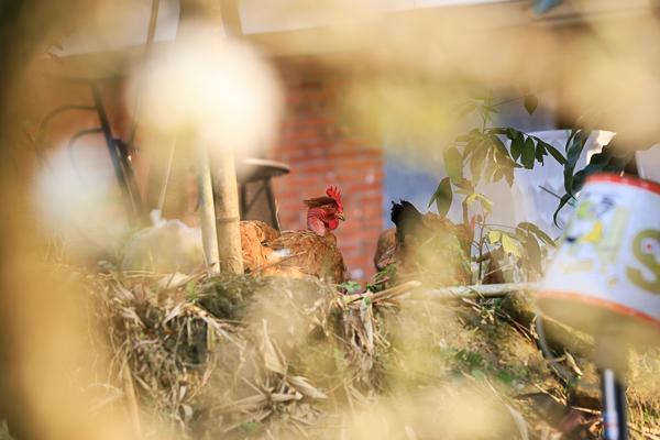 台中新社李花園滿山谷李樹雪白花海,李花隧道拍美照、白冷圳5號渡槽