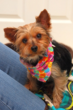How to Groom a Yorkie at http://www.anartfulmom.com