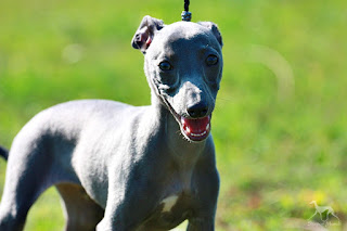 Italian Greyhound Sighthound puppies for sale