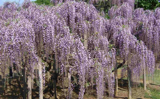 しな垂れて咲く藤の花