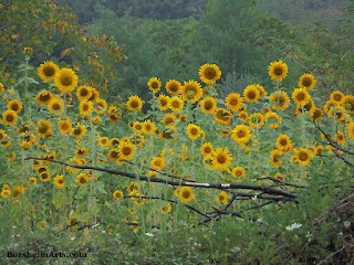 Sunflowers in Valleriana, Tuscany, Italy