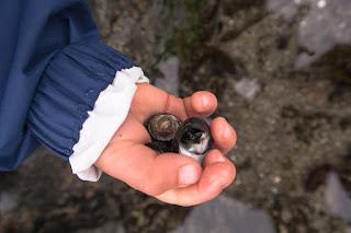 counting snails at Tapaltos Bay