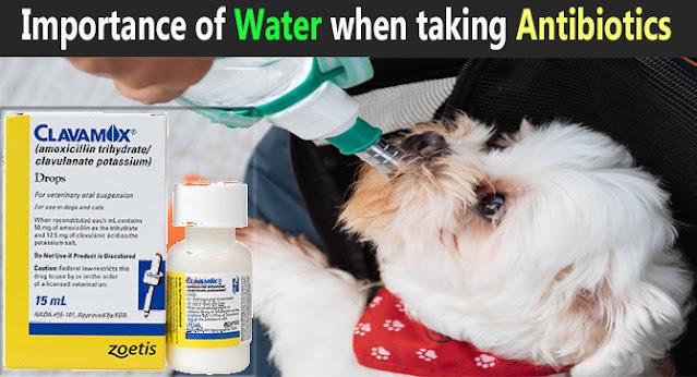 should-a-dog-drink-plenty-of-water-when-taking-antibiotics-like-clavamox