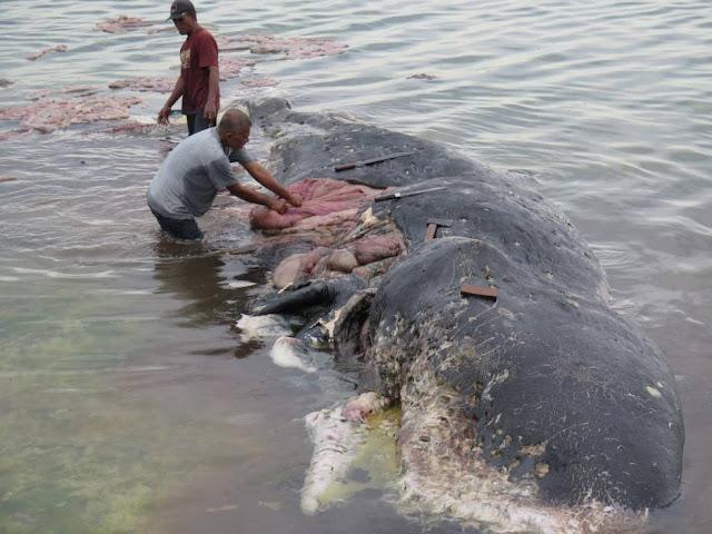 Indonesia: Hallado cadáver de una ballena con mil objetos de plástico en el estómago
