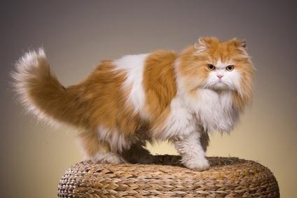 Download 100+  Gambar Kucing Persia Masih Kecil Imut