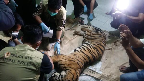 Harimau Liar di Riau Ditemukan Mati Terjerat di Area Hutan Industri