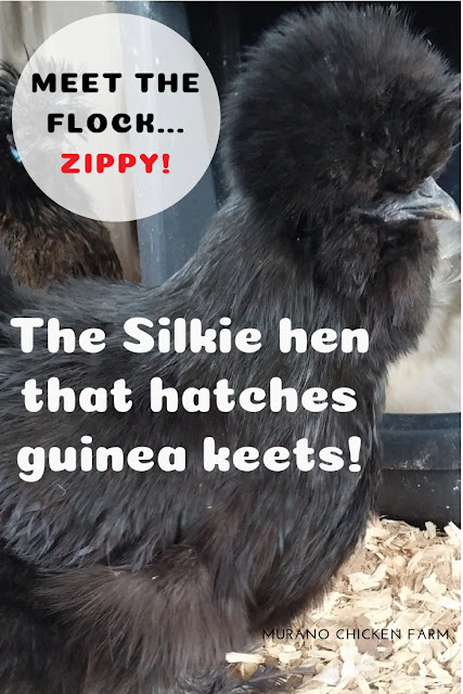 Silkie hen that hatches guinea eggs.