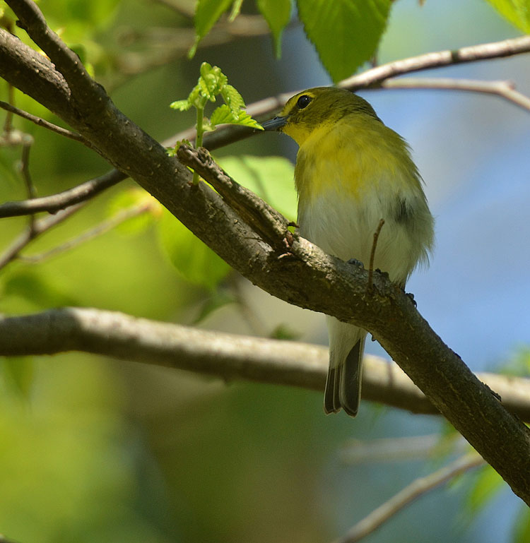 Yellow-throated Vireo (Vireo flavifrons)