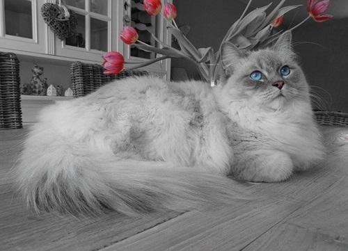 قط الراغدول