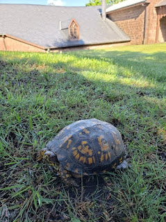 Box turtle in the grass with parts of brown Gothic-style stone building in the background