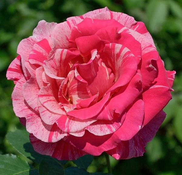 Best Impression роза фото