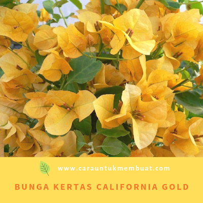 Bugenvil California Gold