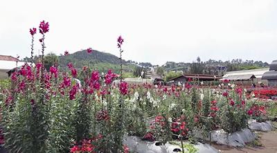 http://www.aseppetir1.com/2016/05/begonia-garden-lembang-flower-paradise.html