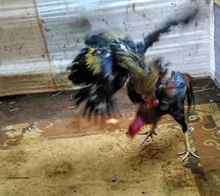 Cara memulihkan stamina ayam aduan setelah ditarungkan