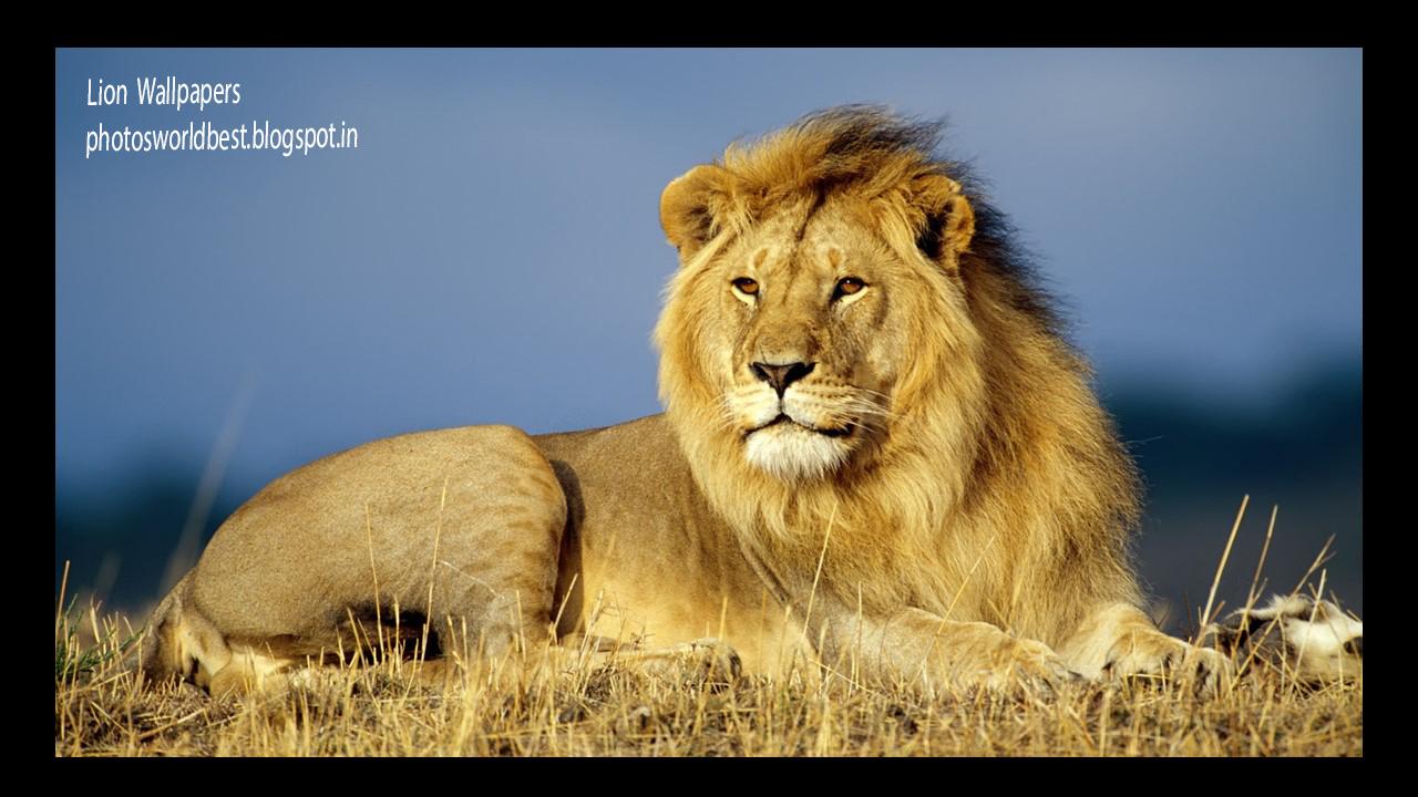 World Best Photos Lion Hd Wallpapers-2988