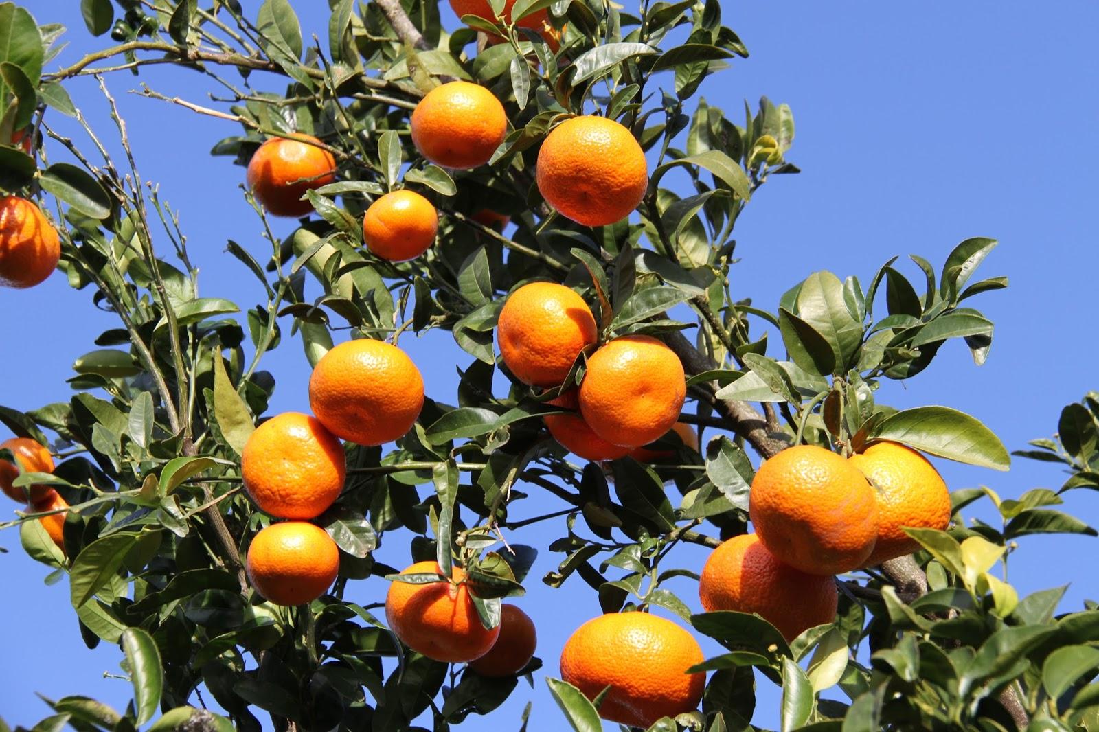 Las mandarinas del rey  6523e855f26