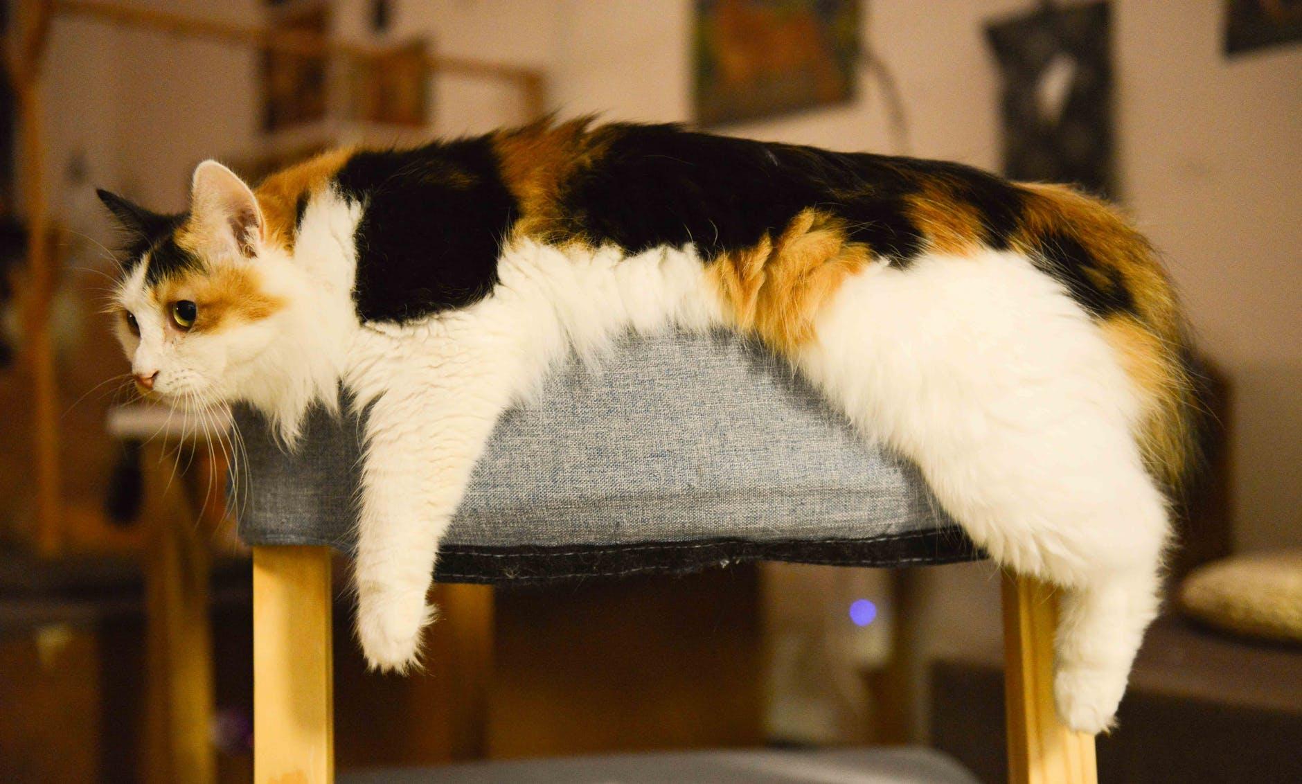 Fourrure de chat, conseils pour son entretien