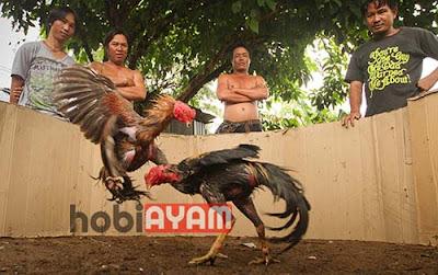 Adu Ayam Jago