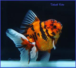 Penyebab warna ikan mas koki pudar