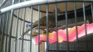 Cara merawat burung perkutut lokal