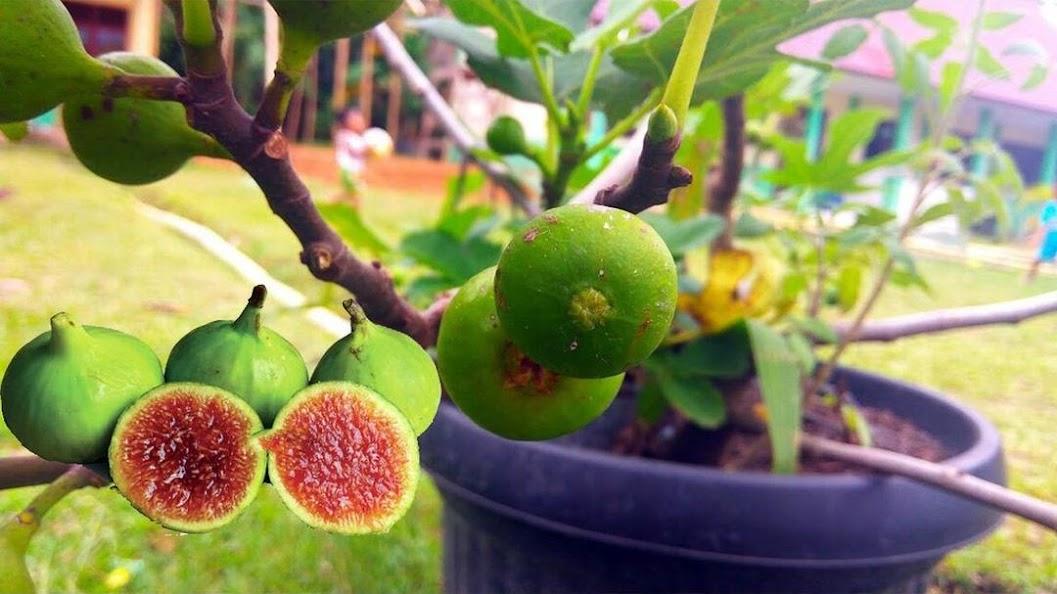 bibit tanaman buah tin brown turki Kota Administrasi Jakarta Pusat