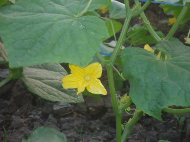 Bunga timun kuning