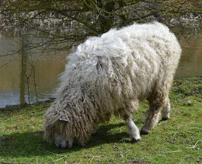 Tattershall Farm Park - A review - Lincolnshire sheep