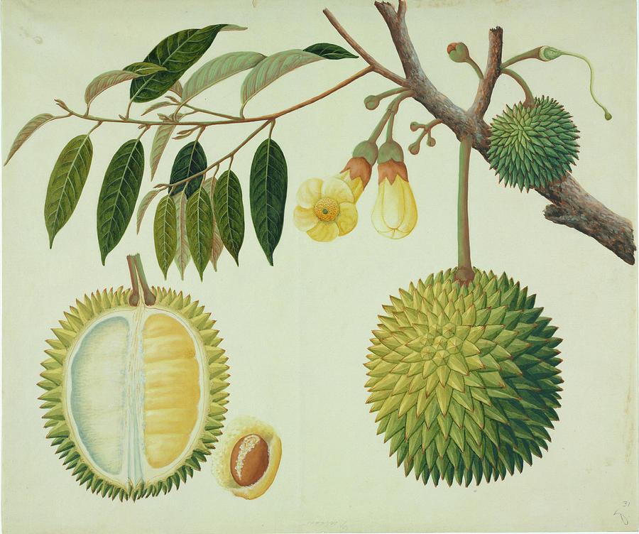 Durian (Durio zibethinus)