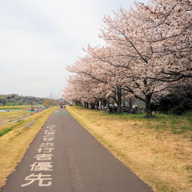 多摩川サイクリングロード 府中郷土の森 桜