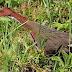 L'uccello di Aldabra appare dopo 100 mila anni, considerato estinto