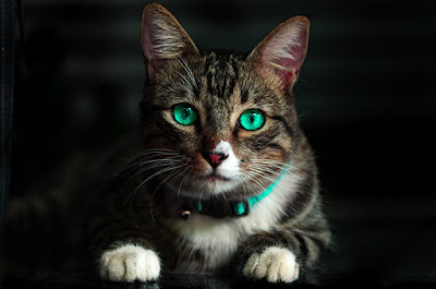 A brown tabby cat with bright green eyes and a bright green collar