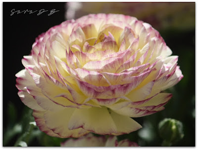 Ranunculus 'Maché Vanilla Rose'