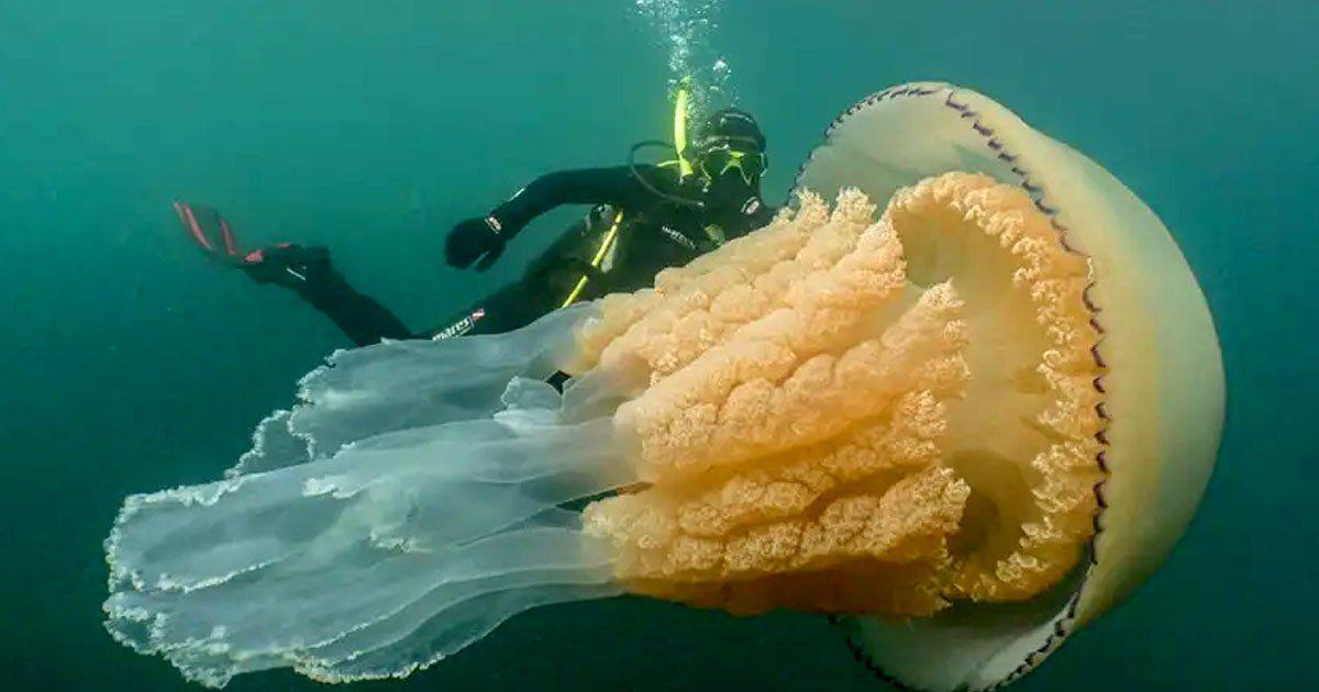 jellyfish, giant jelly fish