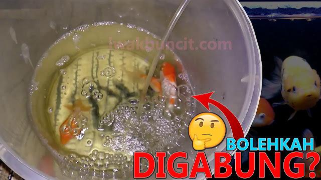 Mencampur Ikan Mas Koki Saat Karantina dengan Ikan Mas Koki Sakit Lainnya: Bolehkah?