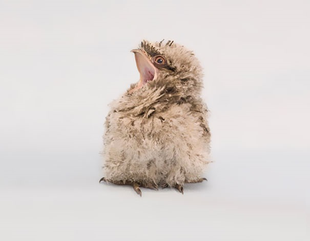 Baby Animals: Frogmouth Chicks 2