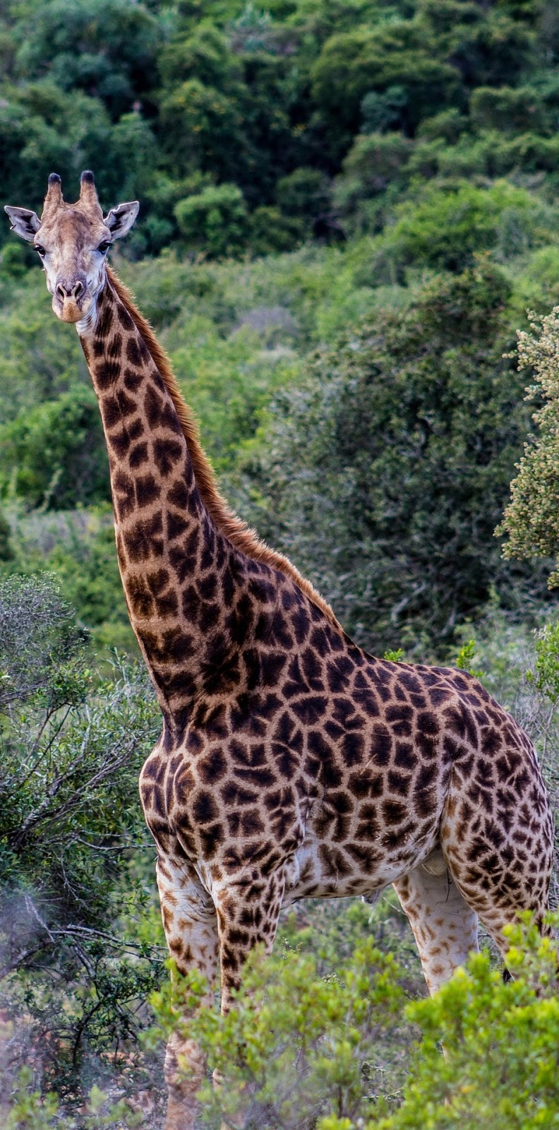 A giraffe in the wilderness.