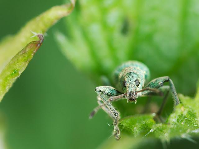 Putzige gesellen; ein Rüsselkäfer